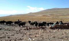 Chorten Tibete Yak man p md
